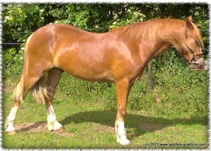 yearling welsh cob gelding