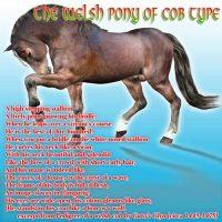 welsh_cob_millennium_horse