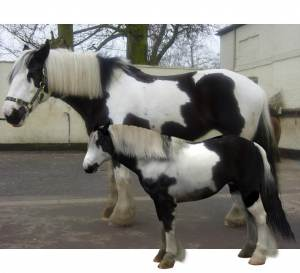 3d digital clone of friends gypsy cob horse using the Daz Millennium Horse 3d Model